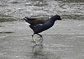 Moorhen in a hurry 1 (3263725141).jpg