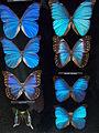 Morpho butterfly case (20500815760).jpg