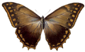 Morpho theseus justitiae - BCA.png