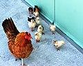 Mother Hen (8085041280).jpg