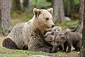 Mother bear and 3 cubs of a few months old (14316604273).jpg