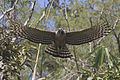 Mountain Hawk Eagle Mahananda WLS West Bengal India 07.12.2015.jpg