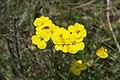 Mountain alison Alyssum montanum (4827033077).jpg