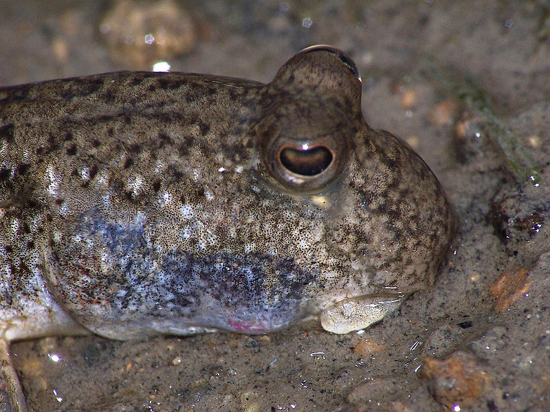 File:Mudskipper eyes.jpg