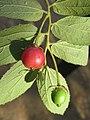 Muntingia calabura - Jamaica Cherry at Nedumpoil (12).jpg
