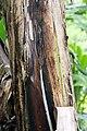 Musa acuminata 14zz.jpg