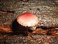 Mushroom collection 8 (2925878680).jpg