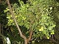 My lemon tree - panoramio.jpg