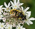 Myathropa flora (female) - Flickr - S. Rae.jpg