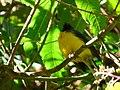 Myioborus miniatus (Abanico carinegro) - Flickr - Alejandro Bayer (1).jpg