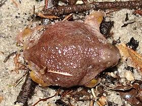 Myobatrachus gouldii.jpg