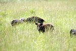 NASA Kennedy Wildlife - Wild hogs forage for food.jpg