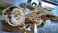 Nasendassellarve in den Nebenhöhlen eines Rehbocks.jpg