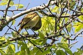 Nashville Warbler (male) Sabine Woods TX 2018-04-22 09-13-26 (27122917907).jpg