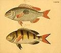 Naturgeschichte in Bildern mit erläuterndem Text (Taf. XCI) (6058673445).jpg