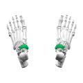 Navicular bone01.png