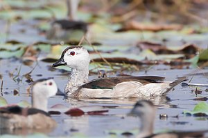 Cotton pygmy goose - Male in Thailand