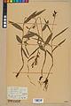 Neuchâtel Herbarium - Cephalanthera rubra - NEU000046837.jpg