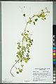 Neuchâtel Herbarium - Oxalis stricta - NEU000092977.jpg