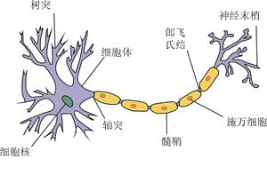 神经元结构图示,示神经元由树突、胞体、轴突、髓鞘、施万细胞、神经末梢、郎飞氏结组成。