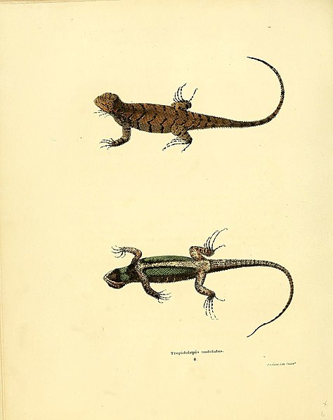 File:North American herpetology, or, A description of the reptiles inhabiting the United States (6075907415).jpg