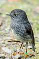 North Island Robin.jpg
