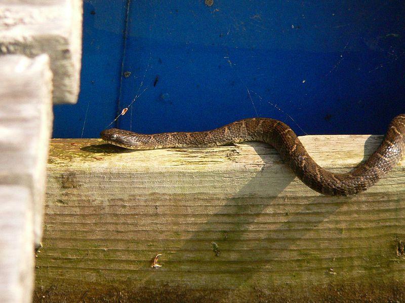 File:Northern Water Snake, Snug Harbour, Ontario.jpg