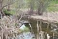 Northern shoveler - Laslovarga (4).jpg