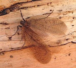 Eomeropidae - Notiothauma reedi