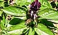 Ocimum basilicum (Lamiaceae) 05.jpg