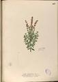 Ocimum basilicum Blanco2.407-original.png