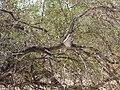 Ocyphaps lophotes (39056219155).jpg