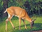 Odocoileus virginianus (white-tailed deer) 3 (8269173469).jpg