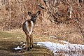 120px-Odocoileus_virginianus_borealis_CT