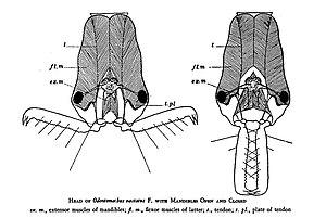 Zeichnung der Schnappkiefer-Mandibeln von Odontomachus hastatus