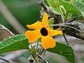 Ojo de poeta (Thunbergia alata) (15001845859).jpg