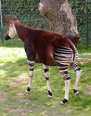 Giraffidae - An okapi in Bristol Zoo, England
