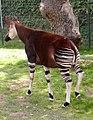 Okapi.bristol.600pix.jpg