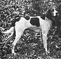 Old-limber-foxhound-of-taylor.jpg