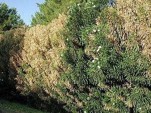 Xylella fastidiosa - Nerium oleander infected with Xylella fastidiosa in Phoenix, Arizona