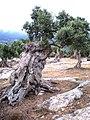 Olivar Costa Nord de Mallorca - panoramio.jpg