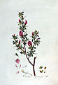 Ononis spinosa — Flora Batava — Volume v3.jpg