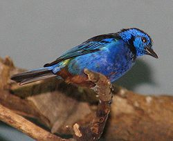 Opal-rumped Tanager.jpg