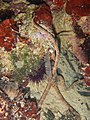 Ophioderma longicauda 13693507.jpg