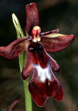 Musinis ofris (Ophrys insectifera)