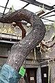 Opuntia elatior bark.jpg
