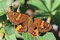 Orange sprite (Celaenorrhinus intermixtus evansi).jpg