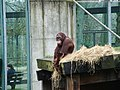 Orangutan in Ouwehands Zoo, Rhenen.jpg