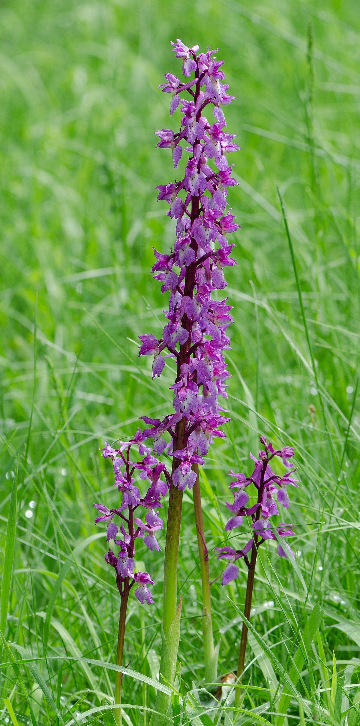 Orchis Mascula Wikipedia