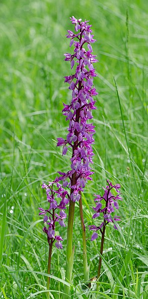 Orchis mascula (the early purple orchid)